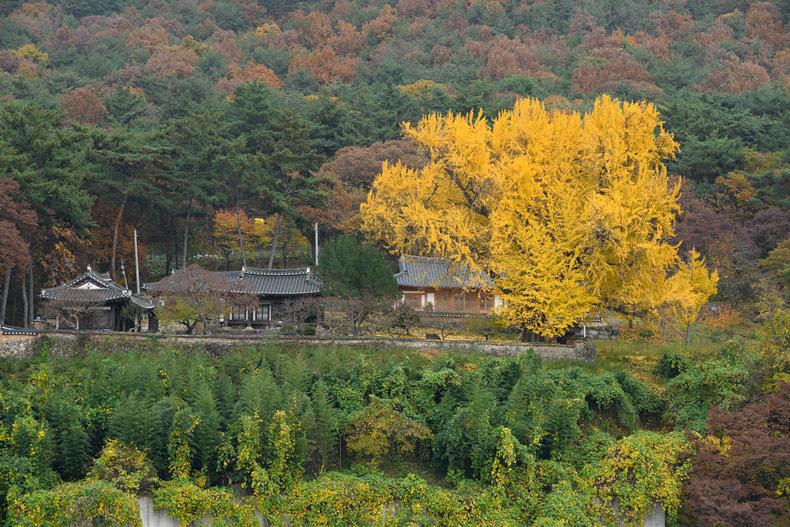 밀양강 건너편에서 바라본 금시당, 백곡재, 450년 수령의 은행나무(좌측에서부터)