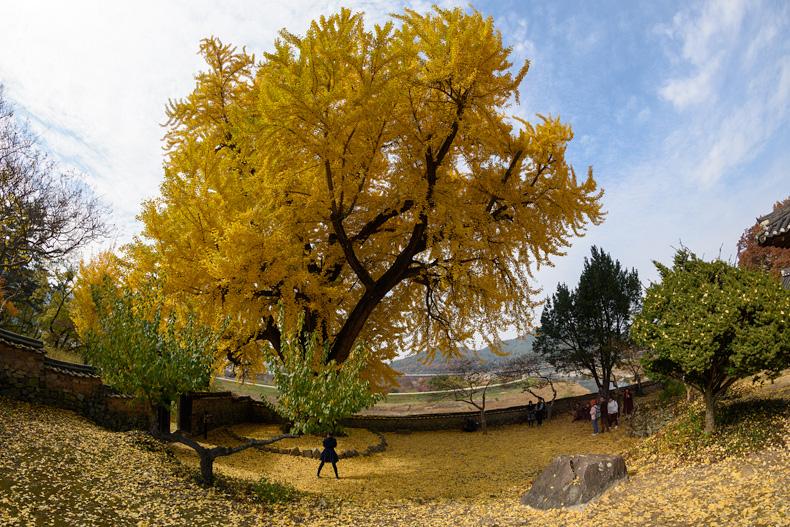광진 선생이 손수 심었다고 알려진 450년 수령의 은행나무